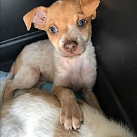 Adopt A Pet :: Prissy - Redmond, WA