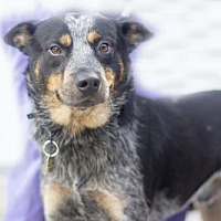 Adopt A Pet :: Rocky - Mountain Home, AR