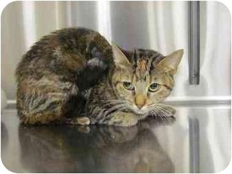 Domestic Shorthair Cat for adoption in Yorba Linda, California - Selena