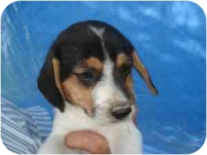Beagle Mix Puppy for adoption in Lonedell, Missouri - Riddle 4