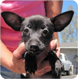 Chihuahua Puppy for adoption in Poway, California - 3 Tiny Chihuahuas