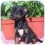 Photo 2 - Dachshund/Chihuahua Mix Puppy for adoption in McArthur, Ohio - JOSIE