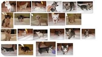 American Shorthair Kitten for adoption in Burbank, California - BABY KITTENS!!!