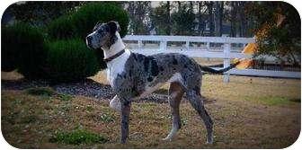 Great Dane Dog for adoption in Austin, Texas - Cheyenne