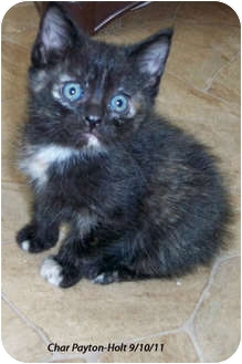 Domestic Shorthair Kitten for adoption in Republic, Washington - Almeria