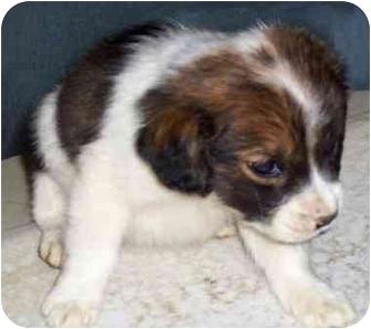 Retriever (Unknown Type)/Brittany Mix Puppy for adoption in Pennington Gap, Virginia - Tip