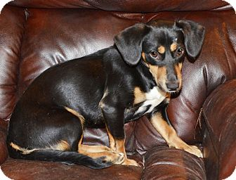 Dachshund Mix Dog for adoption in Beacon, New York - Kindle