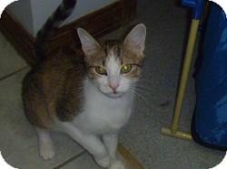 Domestic Shorthair Cat for adoption in Hamburg, New York - Fire Cracker