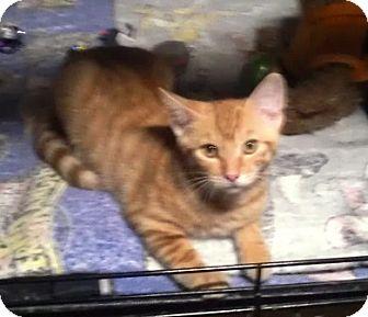 Domestic Shorthair Kitten for adoption in Montgomery, Illinois - Reese