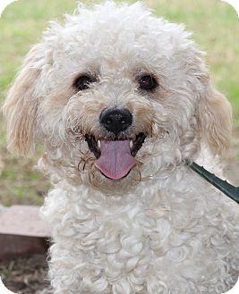 Toy Poodle Dog for adoption in San Pedro, California - Gavin