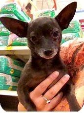 Chihuahua Dog for adoption in Mesa, Arizona - Henny Penny