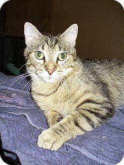 Domestic Shorthair Cat for adoption in Bentonville, Arkansas - Abby
