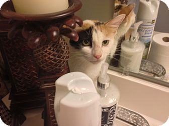 Domestic Shorthair Cat for adoption in Chattanooga, Tennessee - Katniss