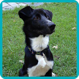 Border Collie/Springer Spaniel Mix Dog for adoption in CHICAGO, Illinois - MARTY
