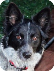 Border Collie Mix Dog for adoption in Oliver Springs, Tennessee - Bella