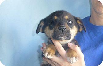 Border Collie/Australian Shepherd Mix Puppy for adoption in Oviedo, Florida - Sugar