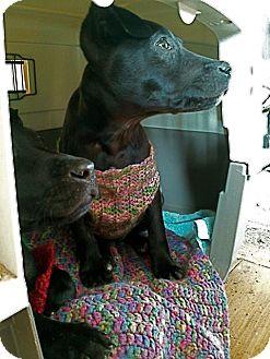 Terrier (Unknown Type, Medium)/Labrador Retriever Mix Puppy for adoption in East Thetford, Vermont - Lora