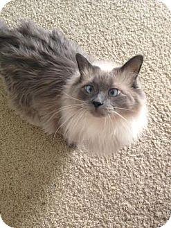 Ragdoll Cat for adoption in Santa Monica, California - Tessa