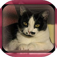 Domestic Mediumhair Cat for adoption in Laconia, Indiana - Midge Monroe