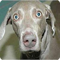 Adopt A Pet :: Sinatra  **ADOPTED** - Eustis, FL