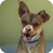 Chihuahua/Pekingese Mix Puppy for adoption in Boca Raton, Florida - Champ