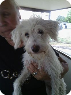 Terrier (Unknown Type, Small) Mix Puppy for adoption in Schertz, Texas - Pepa JH