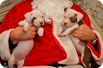 American Pit Bull Terrier Mix Puppy for adoption in Reisterstown, Maryland - Violet