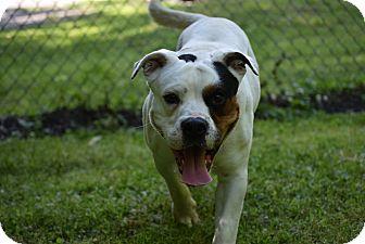 American Bulldog/Boxer Mix Dog for adoption in Petersburg, Virginia - Max
