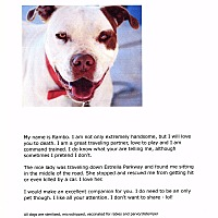 Pit Bull Terrier Mix Dog for adoption in Phoenix, Arizona - Rambo