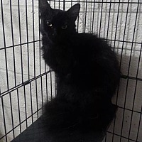Domestic Mediumhair Cat for adoption in Scottsdale, Arizona - Star