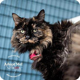 Domestic Longhair Cat for adoption in Denver, Colorado - Tia