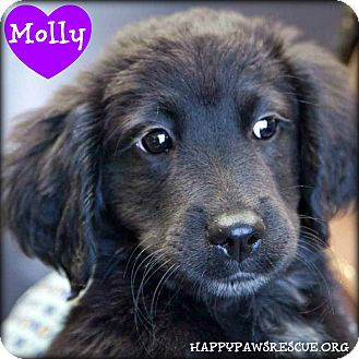Spaniel (Unknown Type)/Labrador Retriever Mix Puppy for adoption in South Plainfield, New Jersey - Molly
