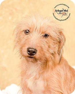 Wheaten Terrier Mix Dog for adoption in Cincinnati, Ohio - Bea