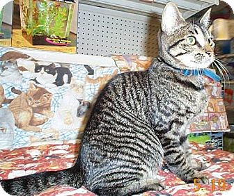 Domestic Mediumhair Cat for adoption in Fayetteville, Georgia - Leo