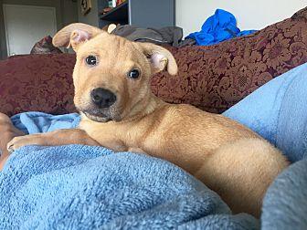 Labrador Retriever/German Shepherd Dog Mix Puppy for adoption in Long Beach, California - Nemo