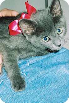 Russian Blue Kitten for adoption in San Antonio, Texas - Camille