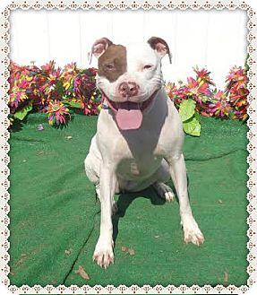 American Pit Bull Terrier Mix Dog for adoption in Marietta, Georgia - JASMINE