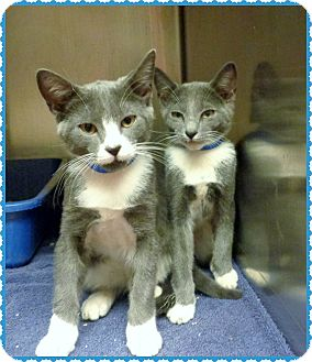 Domestic Shorthair Kitten for adoption in Marietta, Georgia - ROBBIE