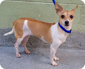 Chihuahua Mix Dog for adoption in Philadelphia, Pennsylvania - EVELYNE