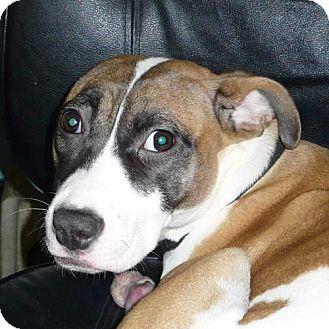 Pit Bull Terrier/Jack Russell Terrier Mix Dog for adoption in Foristell, Missouri - Journey