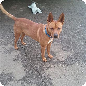 Shepherd (Unknown Type) Mix Dog for adoption in Sacramento, California - Pax