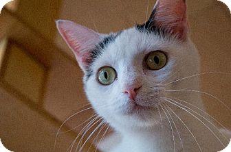 Turkish Van Cat for adoption in St. Louis, Missouri - Pigtail