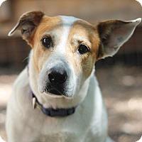 Shepherd (Unknown Type) Mix Dog for adoption in San Antonio, Texas - Charlotte