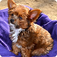 Adopt A Pet :: Snickers - Simi Valley, CA