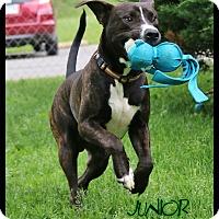 Adopt A Pet :: Junior - Shippenville, PA