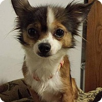 Adopt A Pet :: Miss Co Co - Evansville, IN