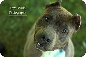 Pit Bull Terrier Mix Dog for adoption in Evansville, Indiana - Sweetie