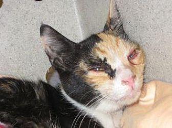 Domestic Shorthair Kitten for adoption in Wildomar, California - Cupcake