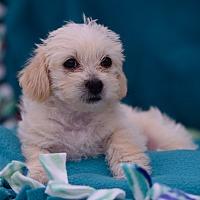 Adopt A Pet :: Vincenco - Rancho Palos Verdes, CA