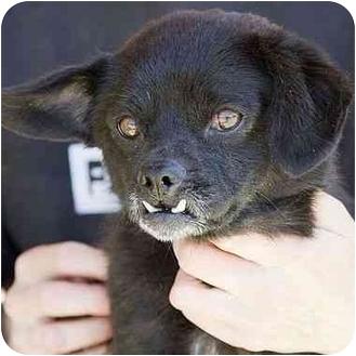 Corgi/Pekingese Mix Puppy for adoption in Berkeley, California - Pirate